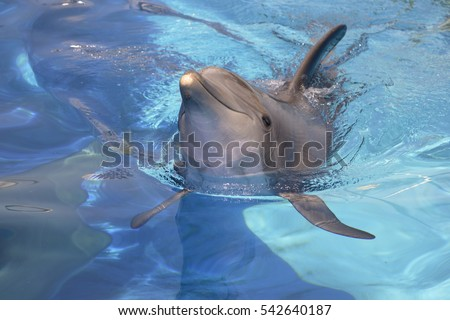 Closeup bottlenose dolphin (Tursiops truncatus) swimming in blue water