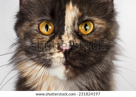 Closeup brown tortoiseshell Maine Coon cat looking in camera on white background