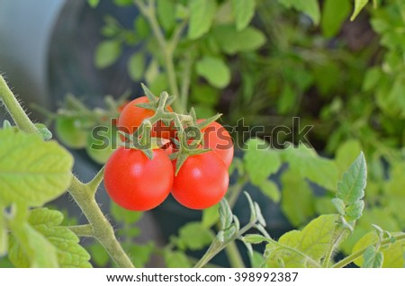 Closeup cherry tomatoes at garden