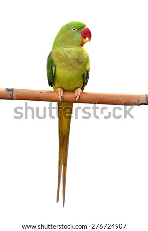 Closeup Female Alexandrine Parakeet, green parrot bird isolated on white backgroud
