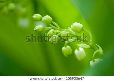 Closeup lily of the valley