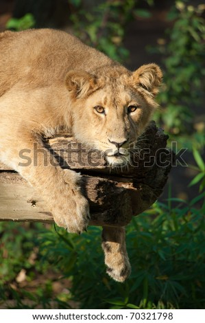 Closeup of a big african female lion in a tree