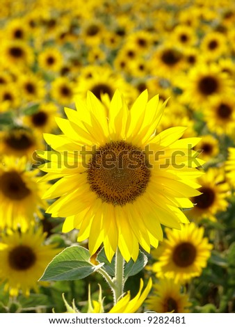 Closeup of a bright yellow sunflower