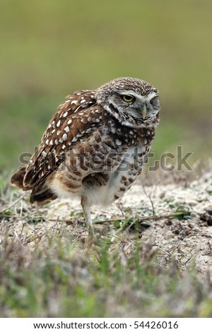 Closeup of a Burrowing Owl standing on one leg in Cape Coral, Florida.