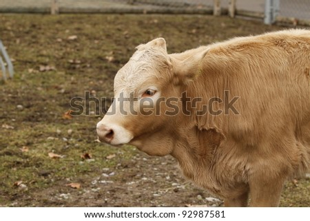 closeup of a calf