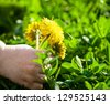 Closeup of a child's hand picking the flower - stock photo