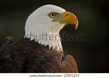 Closeup of a stunning Bald Eagle against a dark and blurred background.
