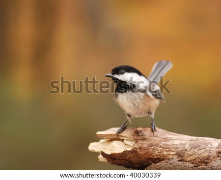 closeup of black capped chickadee
