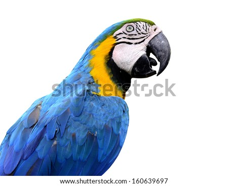 Closeup of blue and gold macaw bird isolated on white background, lovely parrot