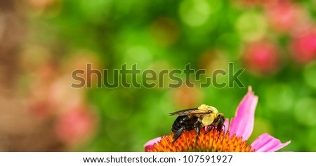 Closeup of bumble bee on echinacea blossom