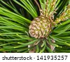 Closeup of fresh spruce cone in evergreen with needles on the side - stock photo