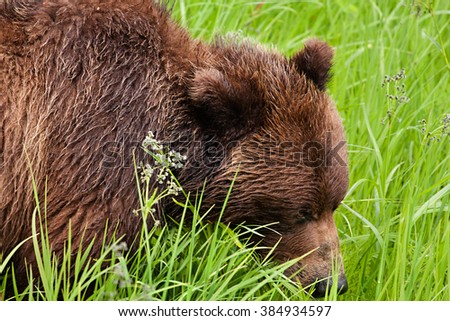 Closeup of grizzly bear (Ursus arctos horribilis) eating grass in a meadow