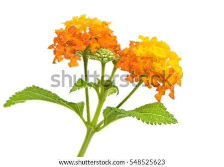 Closeup of orange isolated lantana flower blossoms