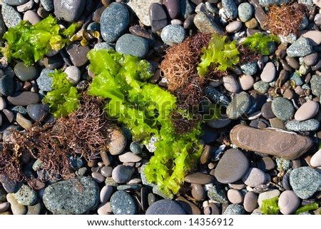 closeup of pebble stones and green seaweed of sea beach as a background
