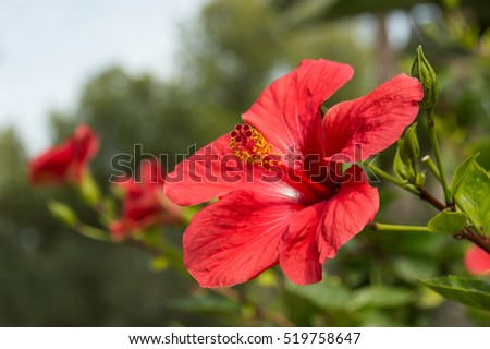 closeup of red hibiscus in a garden