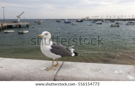 Closeup of single seagull at seaside in Cascais, Portugal. Anchored fishing boats at background.