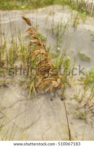 Closeup of Single stalk of Sea Oats (Uniola paniculata) in sharp focus against sand dune in soft focus. Folly Beach of Coastal South Carolina.