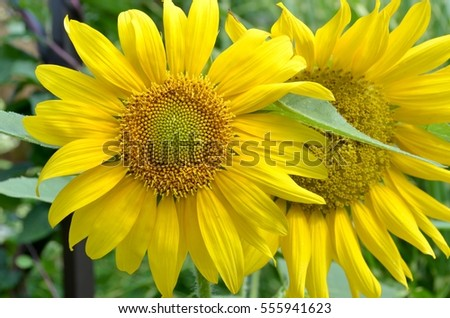 closeup of two bright sunflowers in full bloom