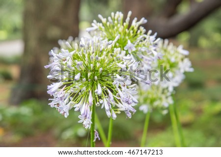 closeup of white Agapanthus flowers