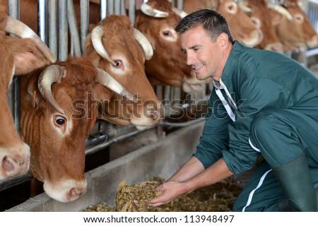 Closeup on cows being fed by cattleman