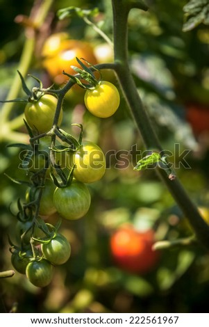 Closeup photo of tomatoes ripening on garden bed at sunny day