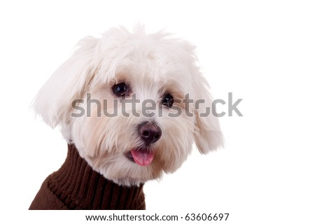 closeup picture of a bichon maltese with tongue exposed