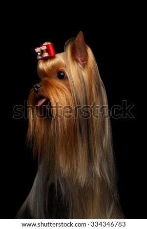Closeup Portrait of Yorkshire Terrier Dog Showing Tongue on Black background