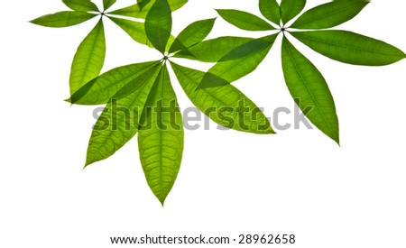 closeup shoot of green leaves isolated white
