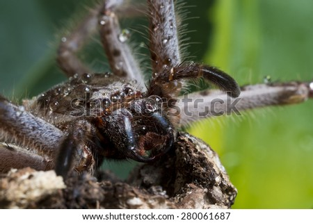 Closeup shot of a huntsman spider with water droplets on it.