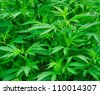Closeup shot of the green Cannabis plant. - stock photo