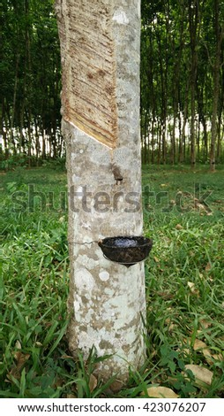 closeup tapping latex extracted and a rubber tree from south of thailand