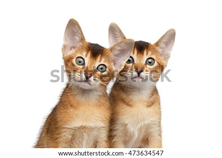 Closeup Two Cute Abyssinian Kitten interesting Looking in Camera on Isolated White Background, front view