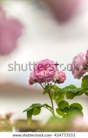 Closeup view of pink roses