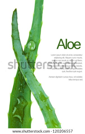 Closeup view of two fresh succulent leaves of aloe