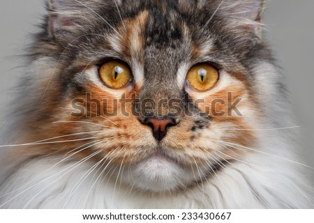 closeup white with ginger Maine Coon cat on white background