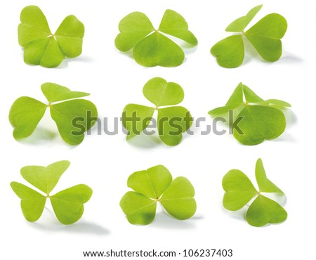 Clover (Wood-sorrel) isolated on white. For use in St. Patrick's Day themes. Oxalis acetosella (lat.). Shallow depth of field.