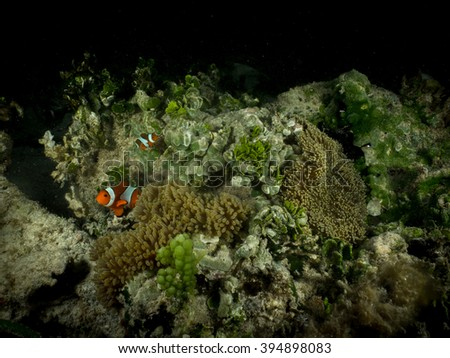 Clownfish On Reef At Night, Raja Ampat, Indonesia