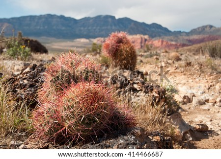 Clustered Barrel Cactus in Red Rock Canyon, Nevada.