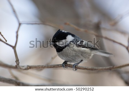 Coal Tit, Coalmouse, (Parus ater). The bird perching on a branch of the tree.