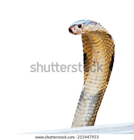 Cobra in box isolate on white background