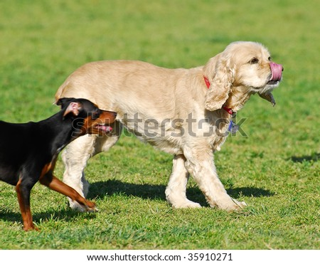 Cocker Spaniel and Miniature Pinscher