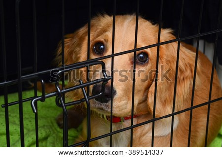 Cocker spaniel pup in her crate