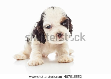 Cocker spaniel puppy with gerbera