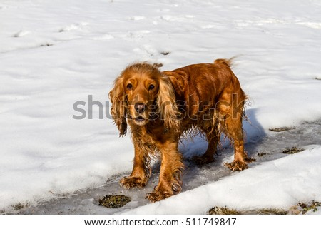 Cocker Spaniel standing in a clearing in the white snow
