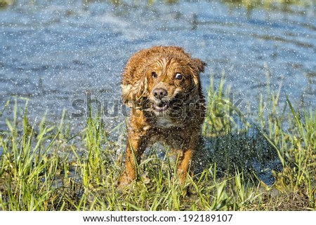 cocker spaniel while stretching in the water