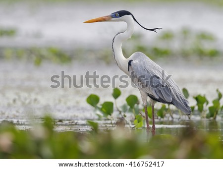 Cocoi Heron (Ardea cocoi) Standing in a Shallow Marsh - Panama