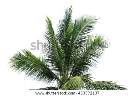 Coconut green leaf isolated on white background.