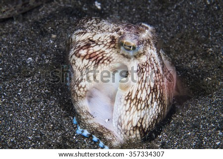 Coconut octopus ate somthing on sand background while diving in the Philippines.