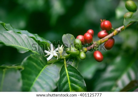 coffee flowers blossom, green and red ripe berries on green tree branch