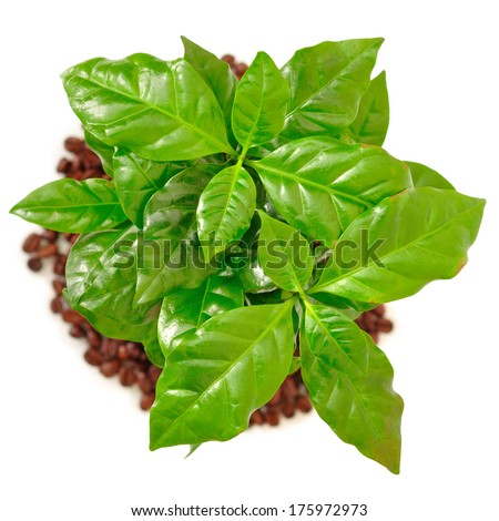 Coffee tree with coffee beans and ground on a white background stock
